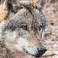 Eriksen Wolf